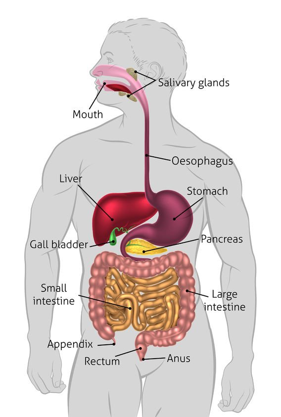 Digestive System | Activated You
