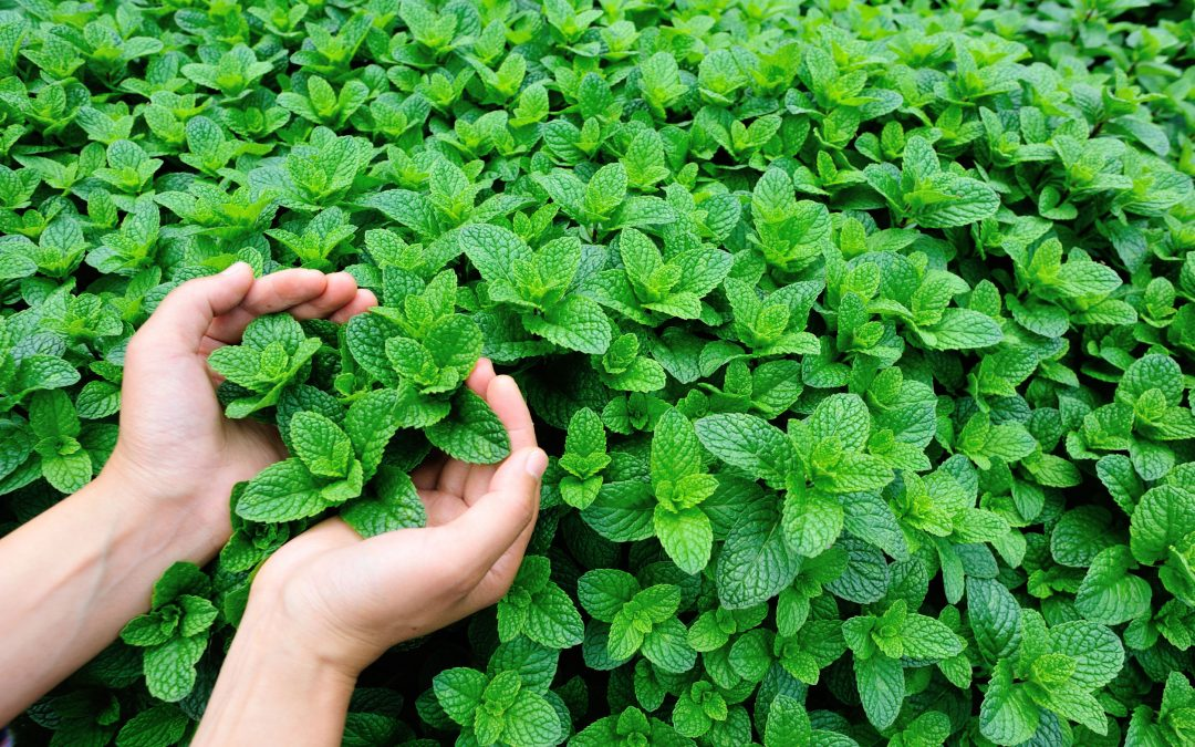 9 Incredible Benefits of Mint (and how to grow this herb at home)