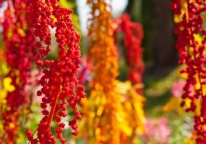 The colorful Chenopodium quinoa tree in the farm