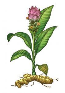 turmeric plant botanical illustration