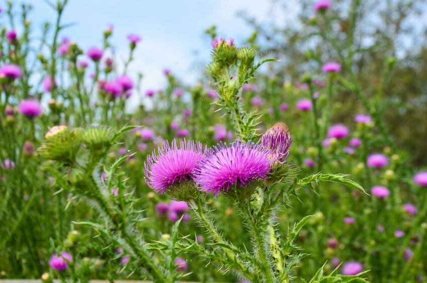 Milk Thistle Benefits And Uses